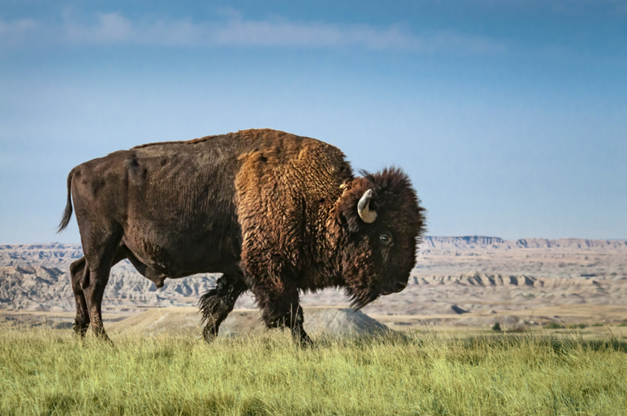 Observe the bison from a healthy distance - they can run at speeds of 64 km/h (40 mph).