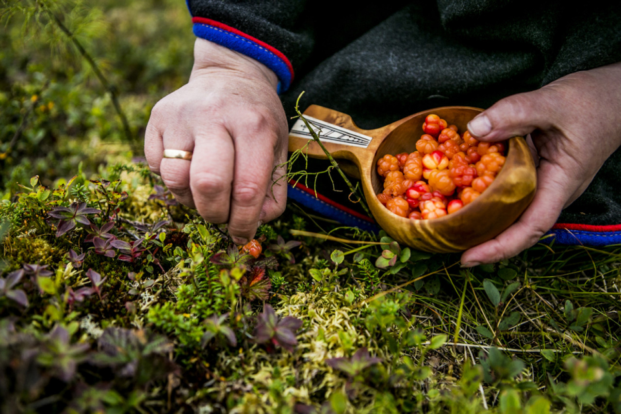 Sámi woman collecting cloudberries with a guksi.